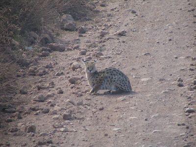 Área de Conservação de Ngorongoro, Arusha, Tanzânia. Este é um gato serval, animal difícil de ser encontrado mesmo aqui em Ngorongoro.