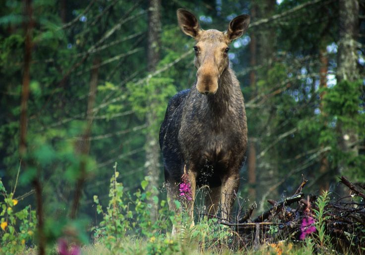The moose is common all over Sweden, except for on Gotland. It is the largest deer animal in the world, 2 metres in height and weighing up to 400-500 kilograms. Photo by Hakan Vargas