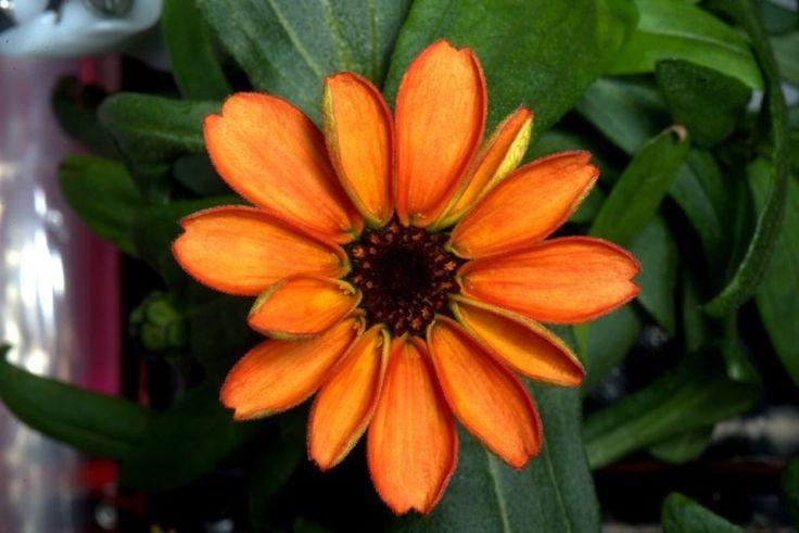 Primeira flor a crescer no espaço é comestível