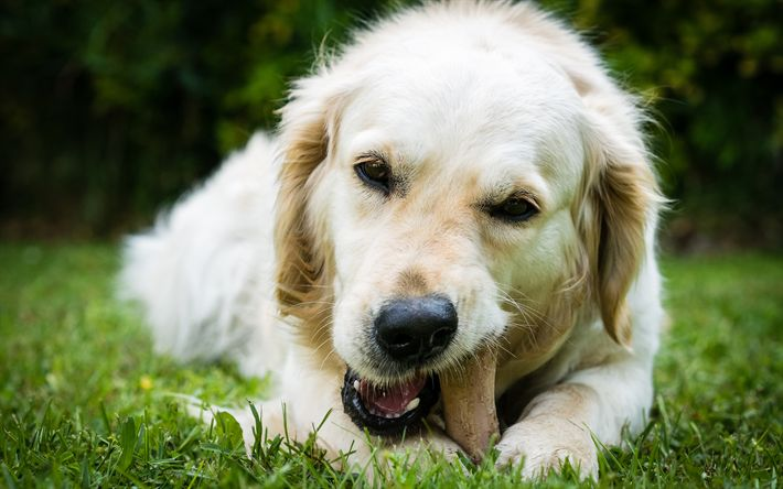 Download wallpapers Labrador, Puppy, Green Grass, Retriever, White Dog