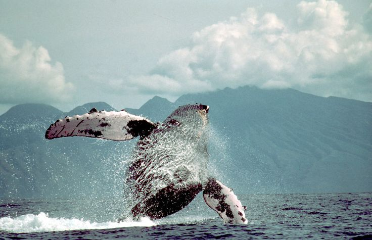 Wild Whales » Cetacean and Turtle Research in BC