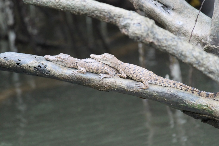 Baby saltwater crocs, Daintree River, nth Qld