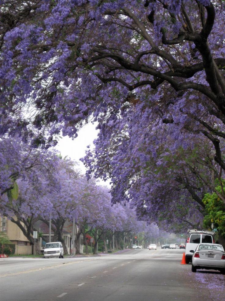 Best 20 Jacaranda Trees Ideas On Pinterest Purple Trees
