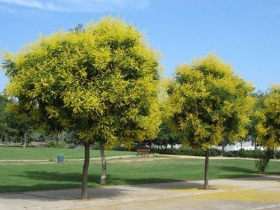 Golden Rain Tree - great images and information