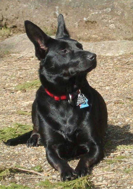 Australian Kelpie photo | Australian Kelpie Photos Pictures Puppies Australian Kelpies - Page 2
