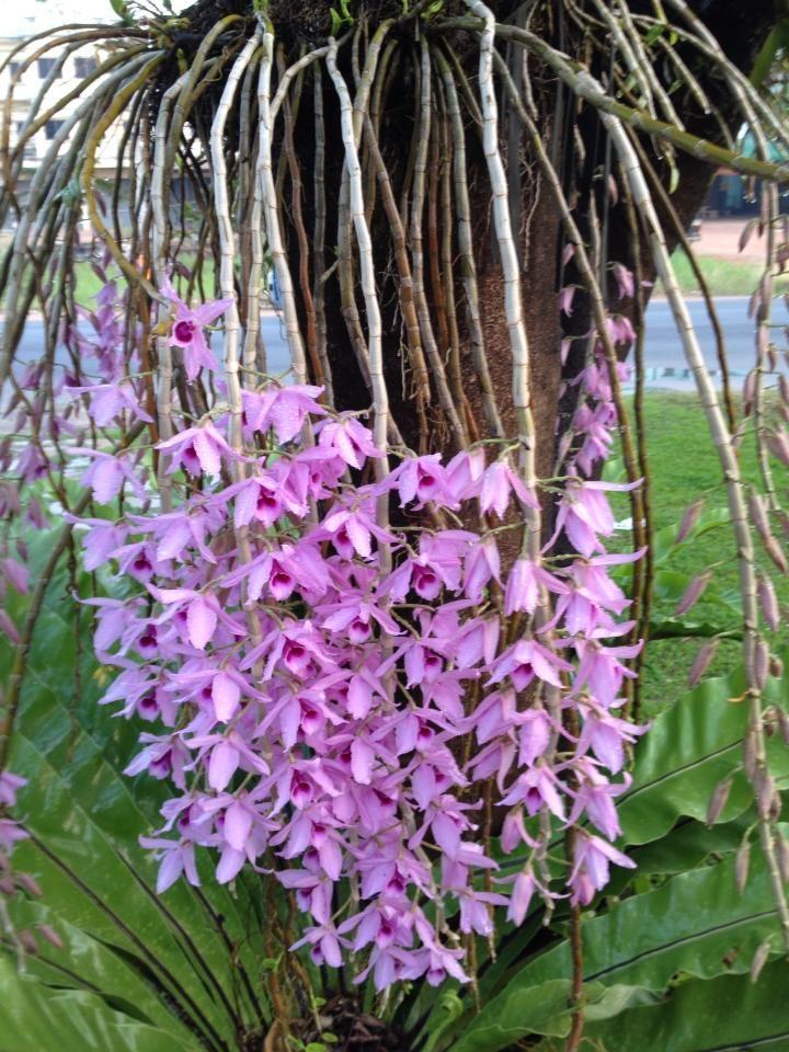 Dendrobium anosmum Lindl orchid