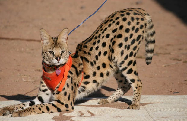 Tigger, a pet African serval cat, ran away from his Langley, B.C. home on March 15 during a thunderstorm. Live in the Fraser Valley? Let people know in case they spot him.