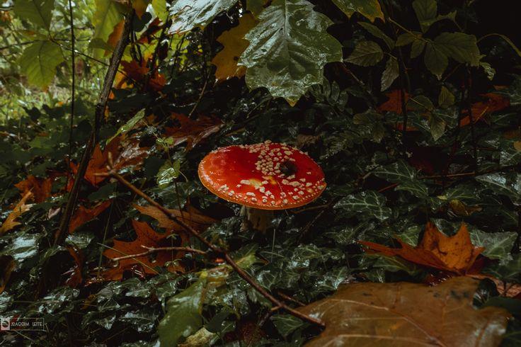 Amanita - Não há apenas um cogumelo alucinógeno, mas o Amanita muscaria é certamente o mais famoso deles. Este icônico fungo branco e vermelho tem muscimol como sua principal substância psicoativa e baixa toxicidade, sendo letal apenas se consumido em grandes quantidades.