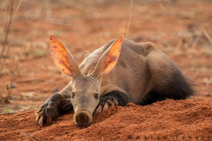 """Aardvark (Orycteropus afer): a medium-sized, burrowing, nocturnal mammal native to Africa. It is sometimes colloquially called """"African antbear"""", """"anteater"""", or the """"Cape anteater"""" after the Cape of Good Hope. The name comes from earlier Afrikaans (erdvark) and means """"earth pig"""" or """"ground pig"""" (aarde earth/ground, vark pig), because of its burrowing habits, but is not related to the pig."""