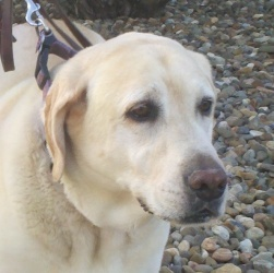 Cotton is an adoptable Labrador Retriever Dog in Sacramento, CA. COTTON is a gorgeous middle aged, 107 pound yellow female. Sadly, poor Cotton has been moved around a bit in the last year. Her people ...