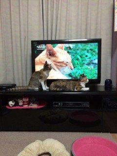 最近テレビに夢中のウッちゃんとヤマちゃん() 猫の姿があらわれると薄型テレビの裏側まで探しています笑 どの猫も同じ事をしますが癒されます tags[宮崎県]