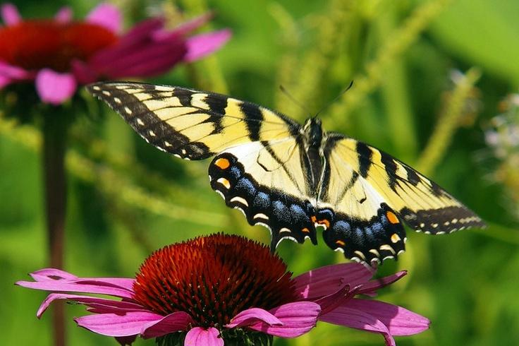 EasternTigerSwallowtail - female    www.wunderground.com: Female Wwwwundergroundcom