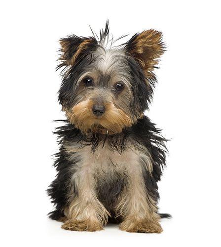 Quelle est la race de chien de petite taille la plus populaire ? Voici le classement des races de chien de petite taille préférés des français, des chien...