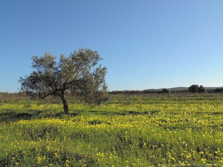 Wild olive tree by Francesca Murroni Ph on 500px