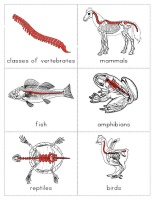 The Helpful Garden: Classes of Vertebrates Cards and Little Booklet    This should be helpful when teaching my 5 year old what he needs to know for his science presentation.