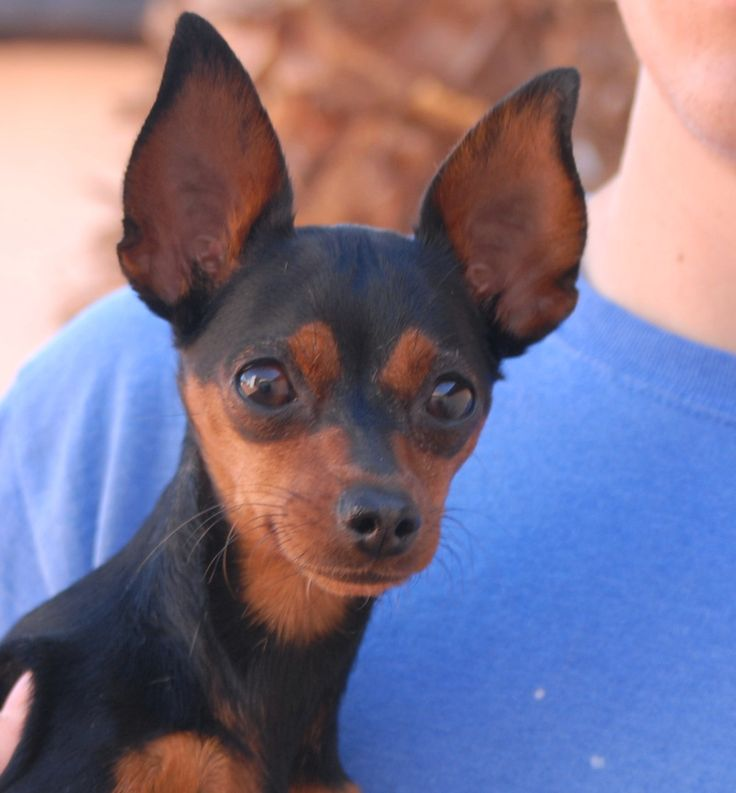 Athena is tiny treasure, a 6-pound young girl, smart and sweet, debuting for adoption today at Nevada SPCA (www.nevadaspca.org).  She is a Miniature Pinscher, 18 months of age, spayed, good with dogs and older kids, plus housetrained and crate-trained too.  Athena needed us due to her previous owners' financial hardship.