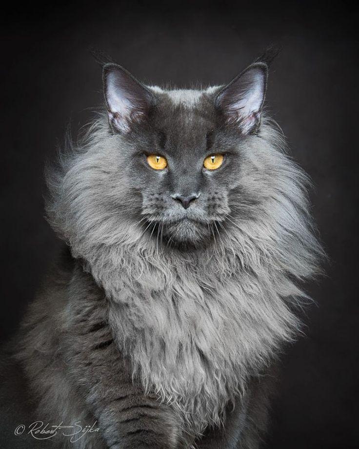 Maine Coon : Beau et majestueux, le Maine Coon est la plus grande race de chat domestique dans le monde. C'est presque comme si vous aviez un lion