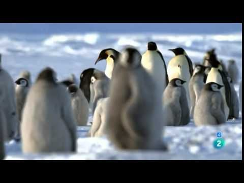 Vida de un pingüino, documental completo en español - YouTube