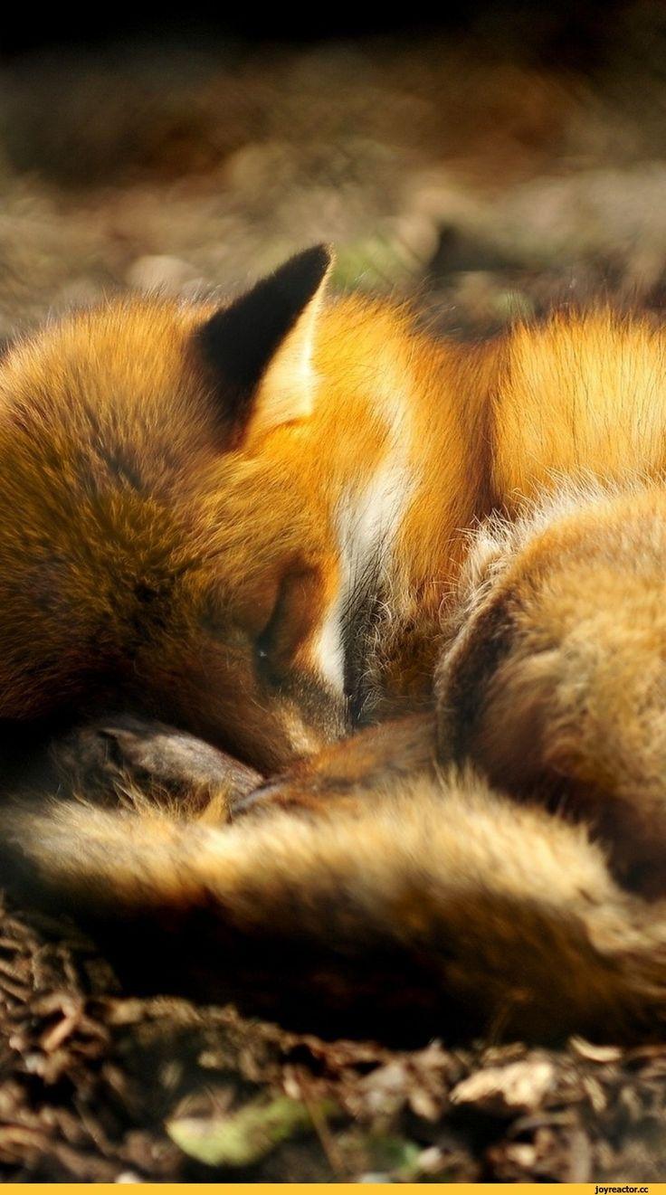 лиса,живность,спит