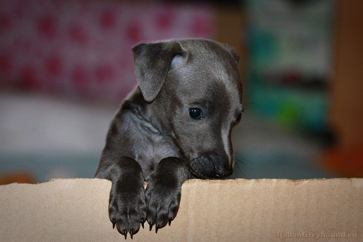 ~ Italian Greyhounds, have that look of adorableness~