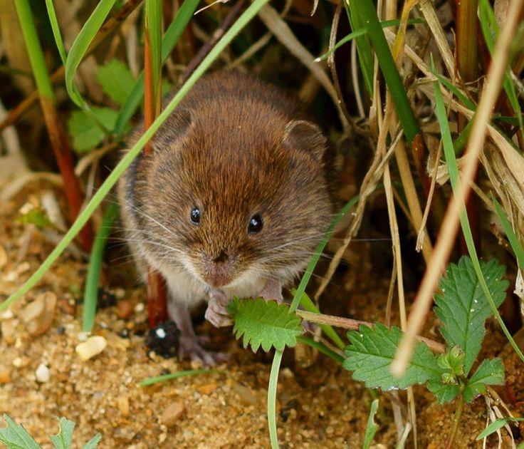 how to get rid of moles voles in my garden
