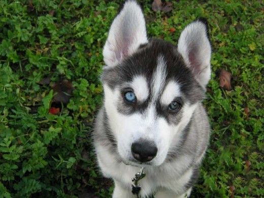 Siberian Husky facts and training tips.