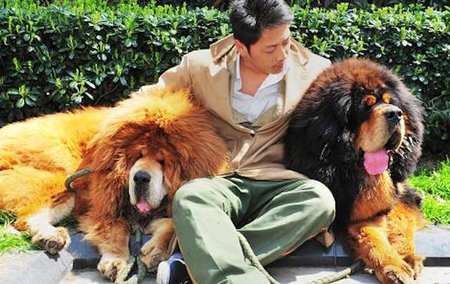 10 Absurdly Extravagant Purchases by the Chinese Ultra-Rich - Even the richest people in the world are prone to having four-legged best friends, as Paris Hilton and her chihuahua Tinkerbell once proved, though normally such pals do not cost $2 million US dollars.