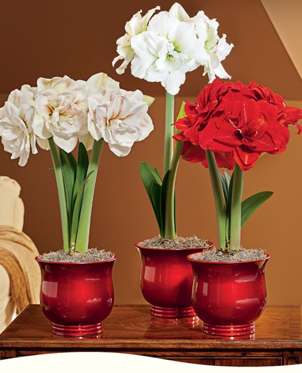 Love the whites and reds in beautiful shiny red pots. Amaryllis indoors <3
