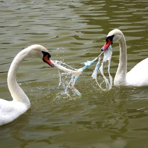 swan-eat-plastic by ecogreen4us, via Flickr