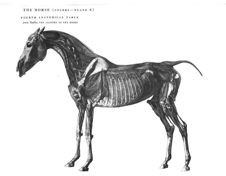 52 Best An Atlas Of Animal Anatomy For Artists Images On Pinterest