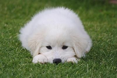 Great Pyrenees Dog Breed Info & Pictures