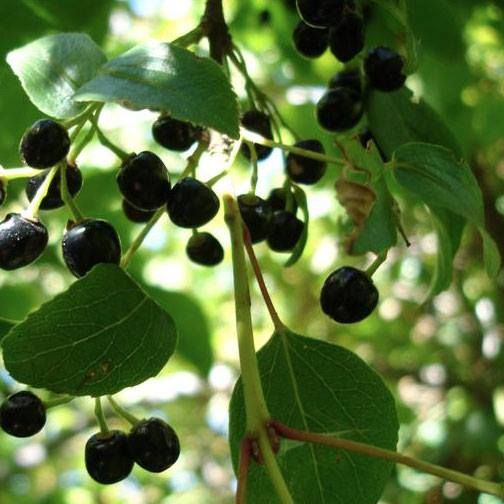 Las bayas de maqui son una de las frutas más beneficiosas para la salud por su alto contenido en antioxidantes. Son anticancerígenas, antiinflamatorias y ayudan al sistema inmunitario.
