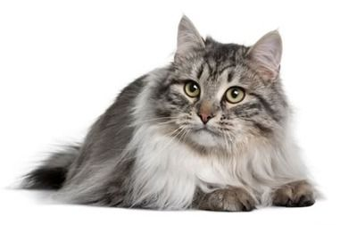 """The Siberian Cat - the """"Man's kitty""""  Allergies are a problem for a lot of people, including those that are """"Cat-positive"""". But, the joy of having an aloof, semi-independant furball in your life is possible with the Siberian Cat.   As far as house cats go, this is one of rarer breeds that can be considered a """"Man's cat"""" with these cats tipping the scales at an average weight of 15lbs AND being bigger than that thing your bimbo girlfriend carries around with her and calls a """"dog"""". ;)"""
