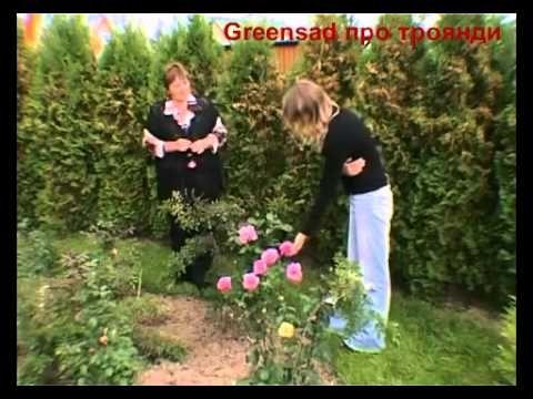 Чайно-гибридные розы: посадка и уход, сорта и фото королевы цветов