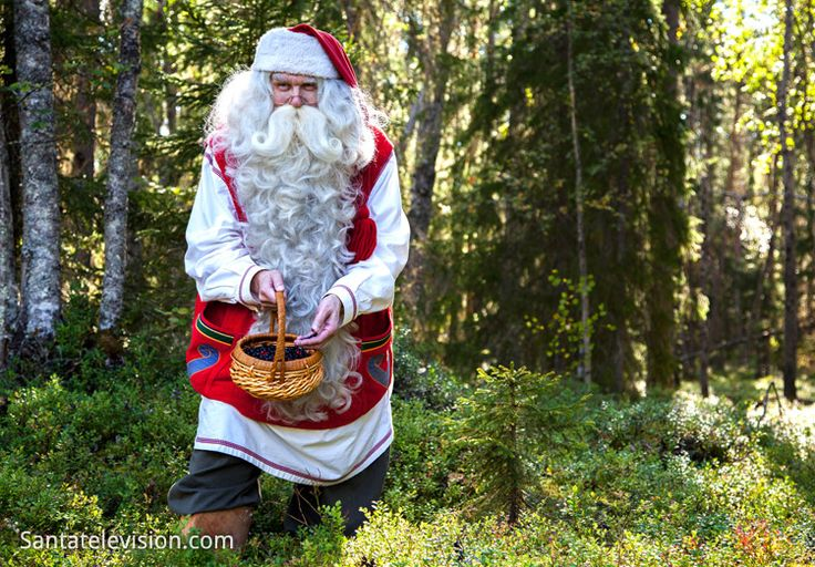 Santa Claus picking blueberries in a forest in Lapland in Finland