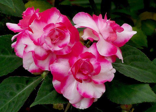 Double Impatiens walleriana Gardening