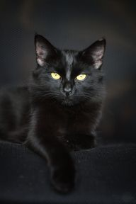 beautiful black cat.: