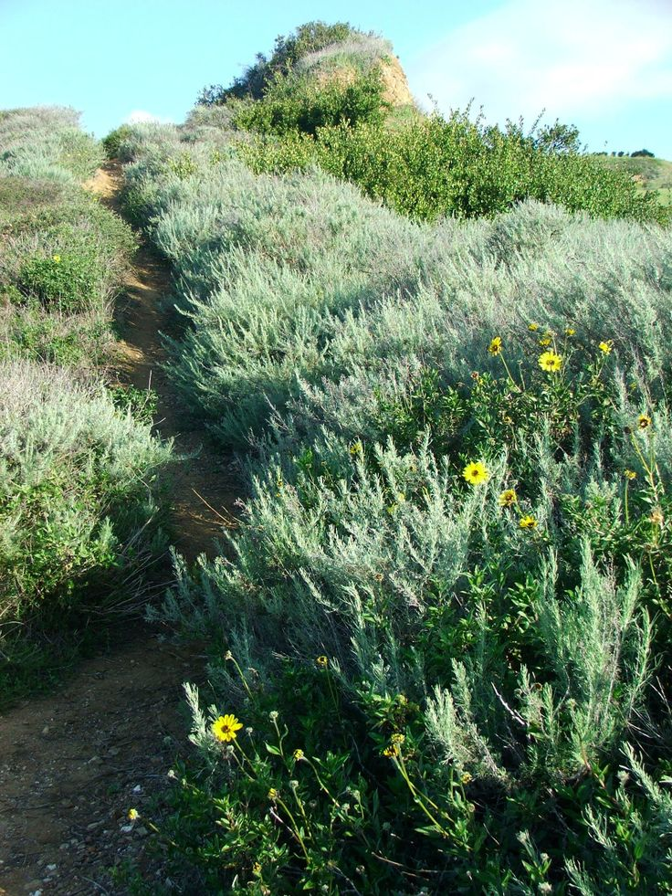 46 best bladdernut images on pinterest wikimedia commons arizona aertemesia californica california sage brush medicinal tea can be made for female reproductive issues fandeluxe Image collections