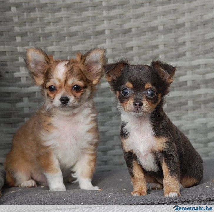 Chiots chihuahua poil long                                                                                                                                                                                 Plus