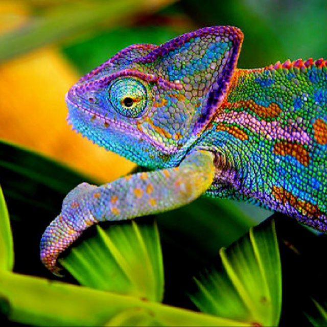 Panther chameleon, looks just like leon:)