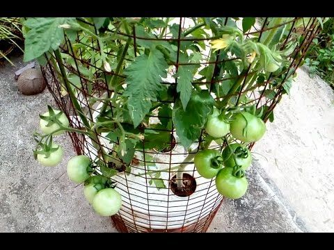 (15) Tomato grow in a self watering tree pot on the roof - YouTube