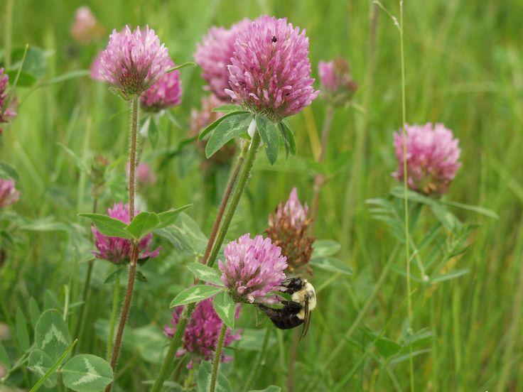 Trèfle des prés ou trèfle rouge (Trifolium pratense) Familles: Fabacées ou légumineuses Espèce vivace de taille moyenne (20-40 cm), naturalisée d'Eurasie, qui croît dans les champs et les prairies. Il présente une tige couchée à la base qui se dresse pour porter des fleurs rouge foncé réunies en capitules. Cette espèce est cultivée pour le fourrage des animaux. Il aide à fixer l'azote atmosphérique dans le sol. Les bourdons butinent son nectar, alors que les abeilles recherchent son pollen.