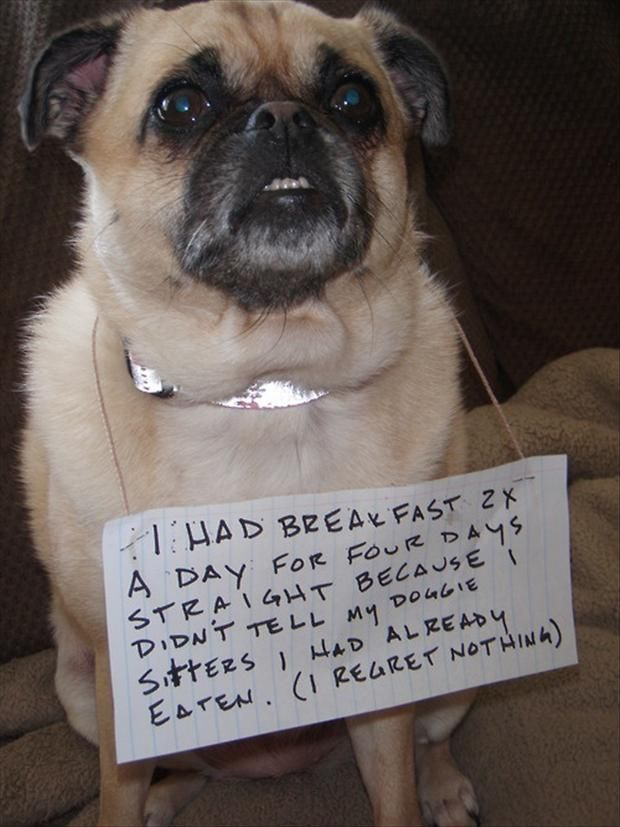 I had breakfast 2x's a day for four days straight, because I didn't tell my doggie sitters I had already had eaten. (I regret nothing.) ~ Dog Shaming shame - Pug