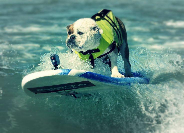 Ogni anno qui, si sfidano cani di tutte le razze facendo surf insieme ai loro padroni http://tuttacronaca.wordpress.com/2013/09/30/campione-di-razza-chi-cavalca-londa/
