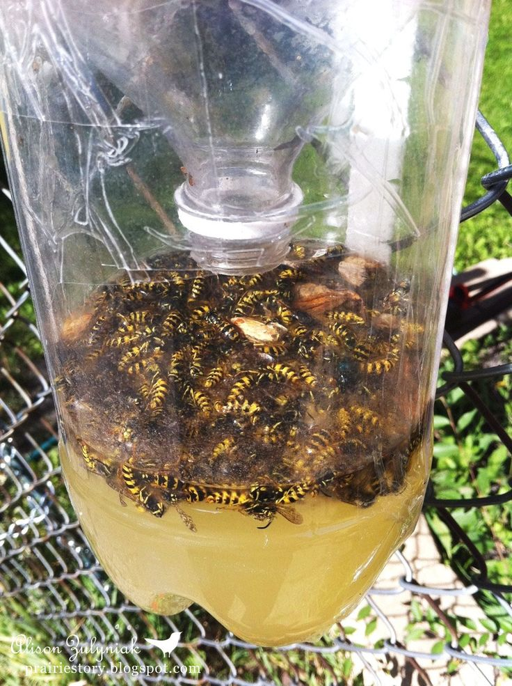 Homemade Wasp Trap -- Ok... this is kind of gross, but clearly it works. Once the wasps go in the bottle they can't figure out how to get out so they get trapped and die. Good to know now that summer is here and everyone is spending more time outdoors.