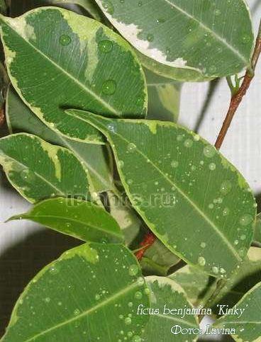 Фикус бенджамина сорт Кинки 'Kinky' Мелколистный, у листа длина (около 4 сантиметров) в 2-3 раза больше, чем ширина. Листья прямые, светло-зеленые, по краю кремовые или салатовые. Рост умеренный.