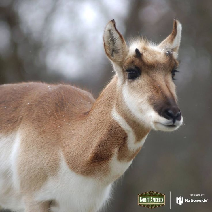 Pronghorn at the Columbus Zoo in Ohio USA. Did you know the pronghorn is the fastest land mammal in North America? They can reach speeds of up to 60 mph! These sure-footed ungulates are found in Western plains states including parts of Montana, Wyoming & down into New Mexico & Baja, California!