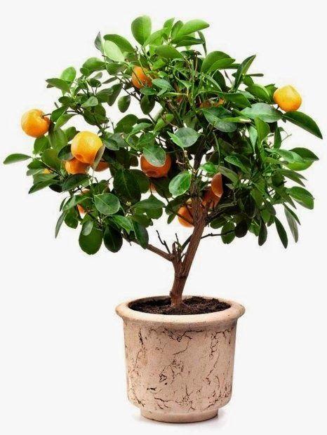 How to grow citrus at home? /// Jak uprawiać cytrusy w domu?