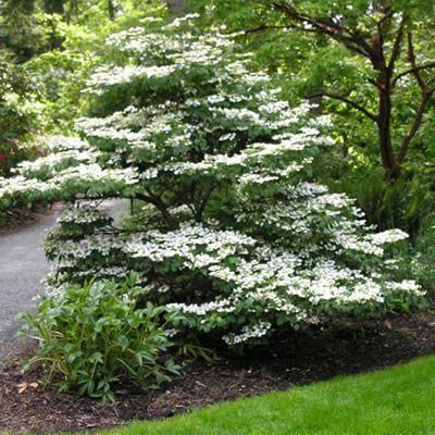 Summer Snowflake Viburnum - Viburnum plicatum var. tomentosum 'Summer Snowflake'