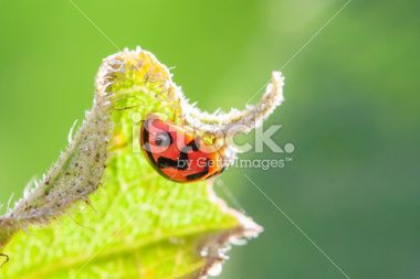 Orange ladybug on leaf Royalty Free Stock Photo